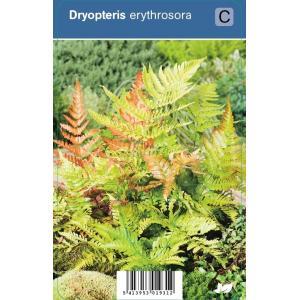 Herfstvaren (dryopteris erythrosora) schaduwplant