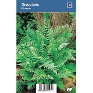 Mannetjesvaren (dryopteris filix-mas) schaduwplant