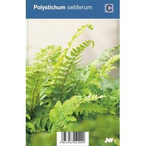 Naaldvaren (polystichum setiferum) schaduwplant