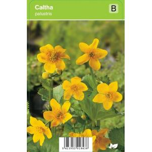 Dotterbloem (caltha palustris) voorjaarsbloeier
