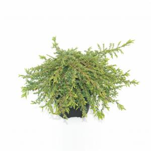 "Jeneverbes (Juniperus communis ""Green Carpet"") conifeer"