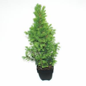 """Spar (Picea glauca """"Conica"""") conifeer"""