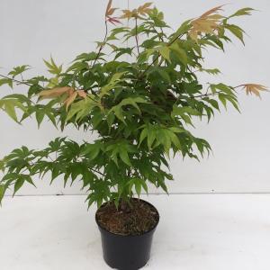 "Japanse esdoorn (Acer palmatum ""Osakasuki"") heester"