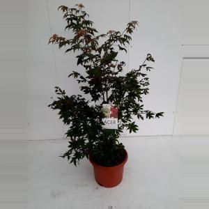 Japanse esdoorn (Acer palmatum Osakasuki) heester - 100-125 cm - 1 stuks