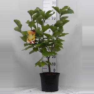 Magnolia struik Elizabeth - 6 stuks
