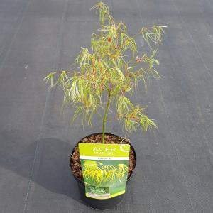 "Japanse esdoorn (Acer palmatum ""Koto-no-ito"") heester"