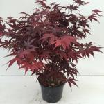 "Japanse esdoorn (Acer palmatum ""Bloodgood"") heester"