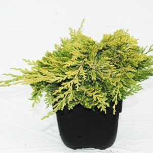 Korting Kruipende jeneverbes (Juniperus horizontalis Golden Carpet ) conifeer
