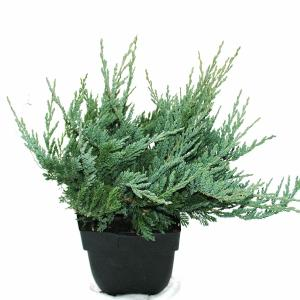 "Kruipende jeneverbes (Juniperus horizontalis ""Blue Chip"") conifeer"