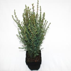 """Jeneverbes (Juniperus communis """"Arnold"""") conifeer"""