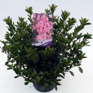 """Rododendron (Rhododendron Japonica """"Silvester"""") heester"""