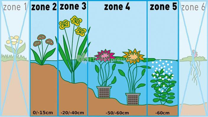 Gewone waternavel (Hydrocotyle vulgaris) zuurstofplant
