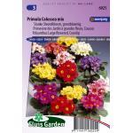 Grootbloemige slanke sleutelbloem bloemzaden – Primula colossea mix